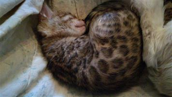 Beautiful Purebred  little bengal kittens.