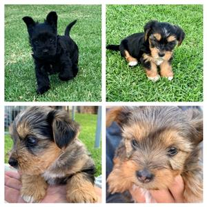 YORKIE'S DIFFERENT COLORS ONLY FOR GOOD HOME