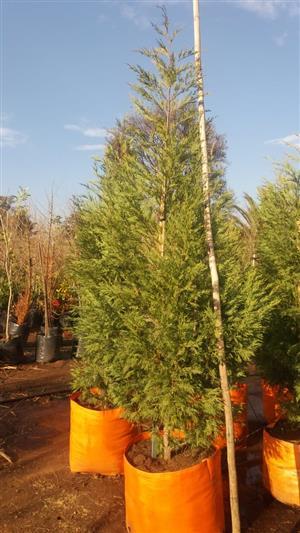 Cypress leylandii conifer trees
