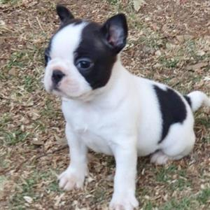 Dogs and Puppies in East Rand | Junk Mail