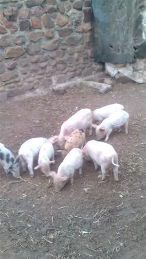 Weaners large white landrace cross  2months old