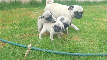 Pure bred pug puppies