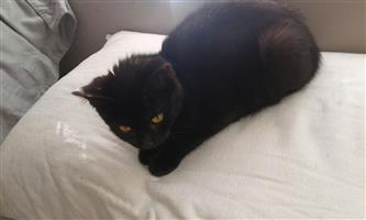Loveable Black kitten looking for a home