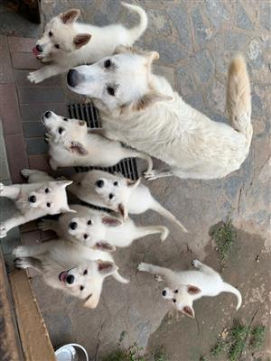 WHITE GERMAN SHEPHERED PUPS 10 WEEKS OLD MALES AND FEMALE TO CHOOSE FROM.
