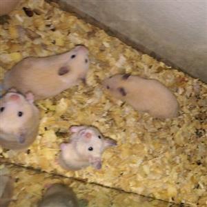 teddybear hamsters for sale