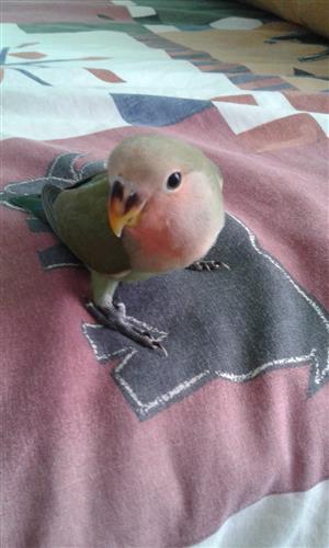 Handreared Lovebirds for sale
