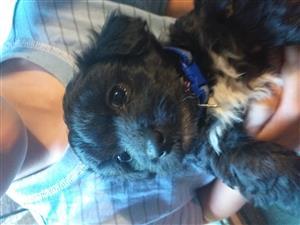 Black maltese poodles