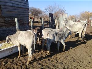 Brahman bull calves and Heifer