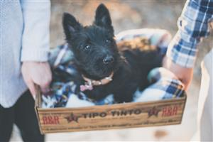 KUSA registered black male scottish terrier
