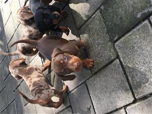 Chocolate male Miniature  sausage dog