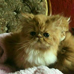 Beautifull persian babies available