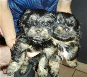 Yorkie cross with Dutch dog