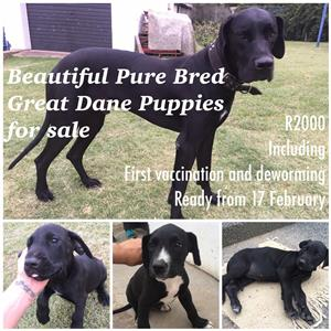 Great Dane In Dogs And Puppies In Gauteng Junk Mail