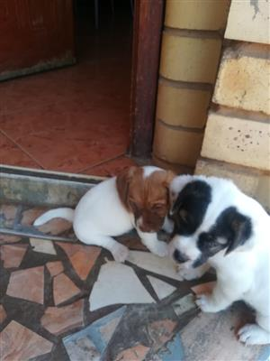Pure breed Jack Russells Puppies