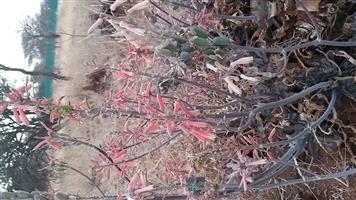 Aloe plants, 24cm
