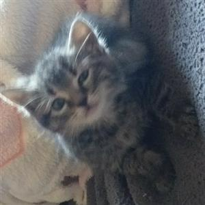 Cute Tabby Cat Kittens