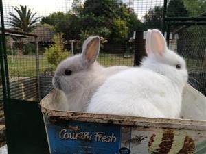 2 Dwarf Rabbits for sale