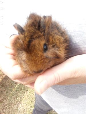 4 baby guinea pigs for sale