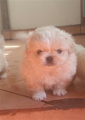 Pekingnese puppies