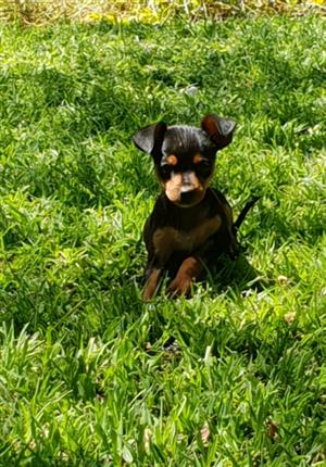 Miniature Doberman Pinscher puppy (Bokkie hond)
