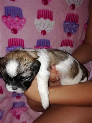Shih Tzu Puppies te koop