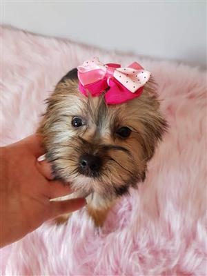 Yorkshire terrier girl