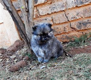 Male Toy Pom cross puppy for sale to a loving home.