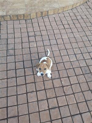 Jack Russell Puppy For Sale