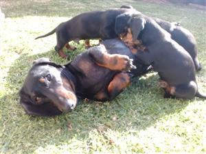 Dachshund (Worshond) puppies