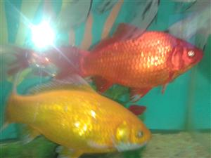Large 25cm goldfish