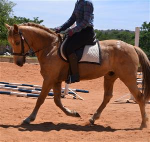 Palomino Pony Gelding For Sale
