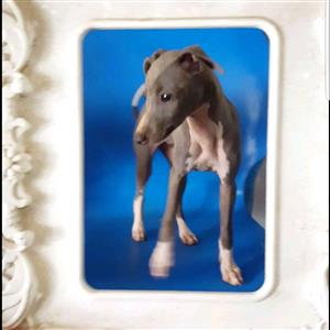 Adorable Purebred Italian Greyhound Puppies for sale