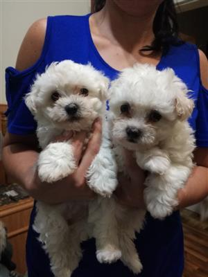 Beutiful Maltese puppies for sale