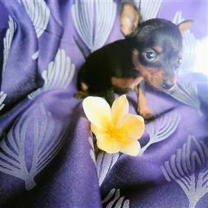 Miniatuur Doberman Pinscher Pocket Size Puppies