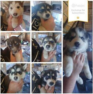Husky/German Sheppard Puppies