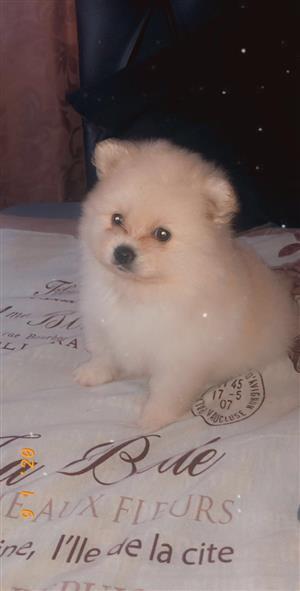 Pomeranian (toy pom) puppy