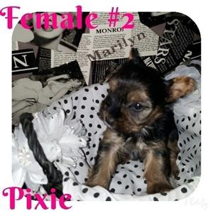 Registered Pocket / Miniature Yorkshire Terriers