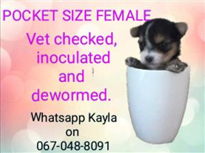 Teacup/Pocket size Yorkshire Terrier puppies