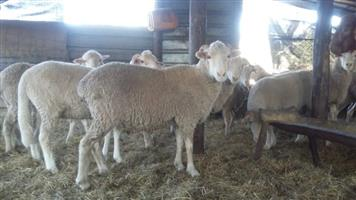 Live Merino and Dorper Sheep For Sale