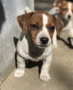 Jack Russell terrier male puppy