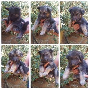 Beautiful German shepherd puppies for ssle