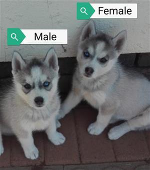 Siberian Husky puppies for sale.