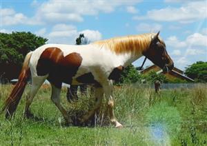 Pinto pony