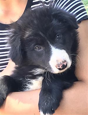 Border collie puppies/skaaphondjies