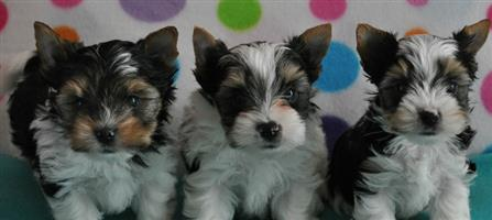 Biewer Puppies Available