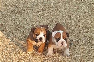 Kusa registered English Bulldog puppies available