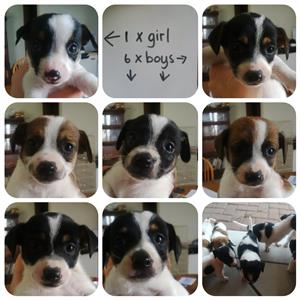 Jack russel X puppies for sale
