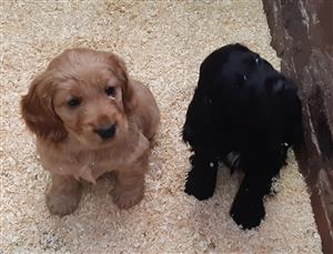 Cocker Spaniel puppies available