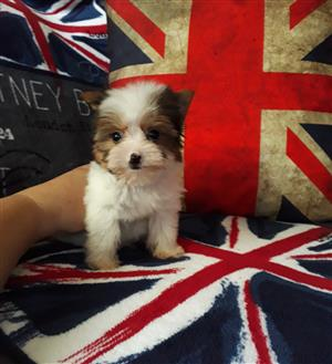 Tiny Biewer Yorkshire Terrier male puppy
