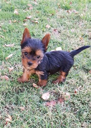 Pocket size Female Yorkie puppies